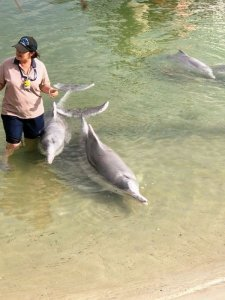 Wild dolphins being fed